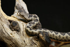 Horned Viper. A Horned Viper (Vipera ammodytes) on a branch stock image