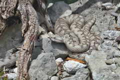 Horned viper, Vipera ammodytes, northern Italy Royalty Free Stock Photography