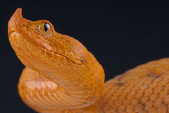 Horned viper / Vipera ammodytes Stock Images