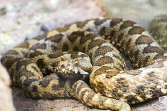 Horned viper (Vipera ammodytes) Royalty Free Stock Images