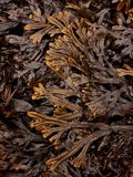 Horned Wrack Seaweed Pattern. Brown and Yellow Horned Wrack Seaweed Pattern Royalty Free Stock Photos