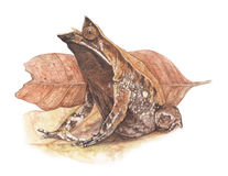 Hornedfrog della rana Fotografia Stock