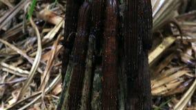 Hornei del Pandanus in Vallee de Mai Nature Reserve stock footage