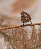 鸟有腿分行的hornero变苍白 库存图片