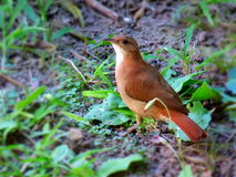 Hornero bird. Brown bird close up Royalty Free Stock Photo