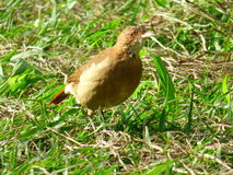 Hornero bird. Brown bird landed at the soil Royalty Free Stock Photos