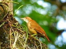 Hornerovogel die zich aan een boom vastklampen Royalty-vrije Stock Foto