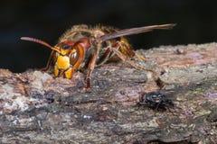 Hornet και μύγες Στοκ φωτογραφία με δικαίωμα ελεύθερης χρήσης