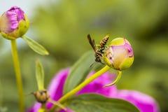 Hornet σε ένα ρόδινο Peony Στοκ Φωτογραφίες
