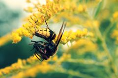 Hornet στο λουλούδι Στοκ Εικόνες