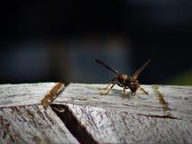 Hornet στο ξεπερασμένο γκρίζο ξύλο στοκ εικόνες
