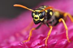 Hornet στο χρυσάνθεμο Στοκ φωτογραφία με δικαίωμα ελεύθερης χρήσης