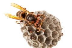 hornet σφηκοφωλιά Στοκ Εικόνα
