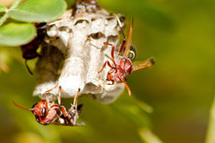 hornet φωλιά Στοκ εικόνες με δικαίωμα ελεύθερης χρήσης