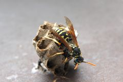 hornet φωλιά s Στοκ φωτογραφία με δικαίωμα ελεύθερης χρήσης
