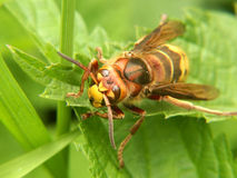 European hornet. Macro view of European hornet on green plant Stock Photo