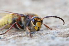 Hornet. A big hornet on an icy morning Stock Photo