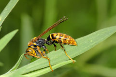 Hornet. The big hornet is eating caterpillar Royalty Free Stock Photos