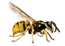 Hornet Royalty Free Stock Image