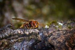 hornet Royalty-vrije Stock Foto's
