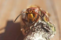 hornet Stock Foto