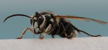 hornet Fotografia Stock