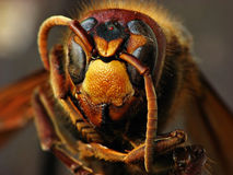 hornet Foto de archivo