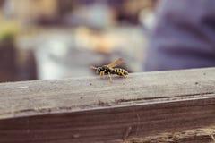 hornet Στοκ Φωτογραφίες