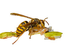 Hornet 8 Stock Image