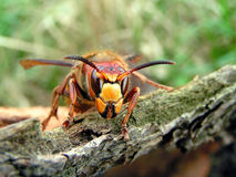 Hornet. On a tree branch Stock Photo