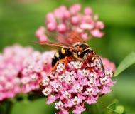 hornet Στοκ Εικόνα