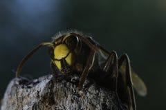 hornet 01 Στοκ Εικόνα