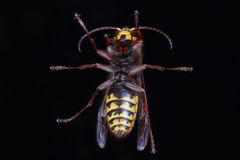 Hornet also known as Wasp Carpenter Stock Photos