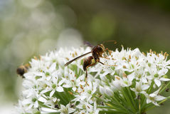 A hornet on the chive flower Royalty Free Stock Photo