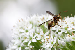 A hornet on the chive flower Royalty Free Stock Photography