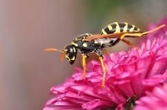 Hornet on chrysanthemum Stock Photo