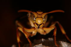 Hornet close. Standing on the nest Royalty Free Stock Photography