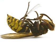 Hornet close-up Stock Photos