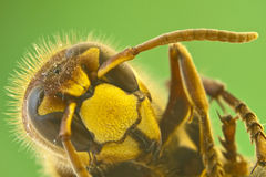 Hornet close-up Royalty Free Stock Photos