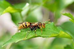 Hornet. The close-up of hornet Stock Photos