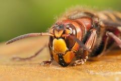 Hornet closeup Stock Image