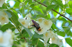 Hornet collects nectar from the flower of Jasmine plants - 1 Stock Image