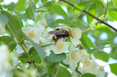 Hornet collects nectar from the flower of Jasmine plants - 2 Royalty Free Stock Image