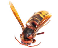 Hornet Stock Photography