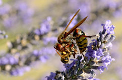 Hornet eating bee Royalty Free Stock Images