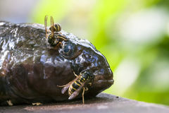 Hornet eating a fresh fish Stock Images