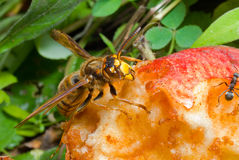 Hornet eats apple 4 stock image