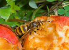 Hornet eats apple 5 Stock Images