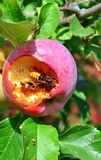 Hornet eats apple Royalty Free Stock Image