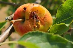 Hornet eats from a piece of fruit. In the summer a hornet eats a juicy apple with a lot of flavor. een hoornaar eet met veel smaak een appel in de appelboom royalty free stock photos